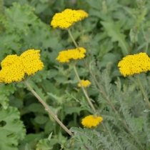 Achillea filipendulina 'Cloth of Gold' / Sárga cickafark