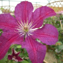 Clematis 'Syrena'