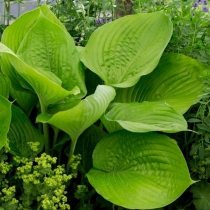 Hosta 'Sum and Substance' / Árnyékliliom