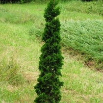 Thuja occidentalis 'Spiralis Mini' / Törpe spirál tuja