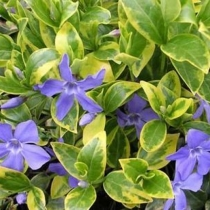 Vinca minor 'Aureovariegata' / Meténg